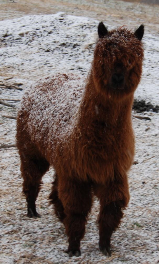 3 alpaca 1