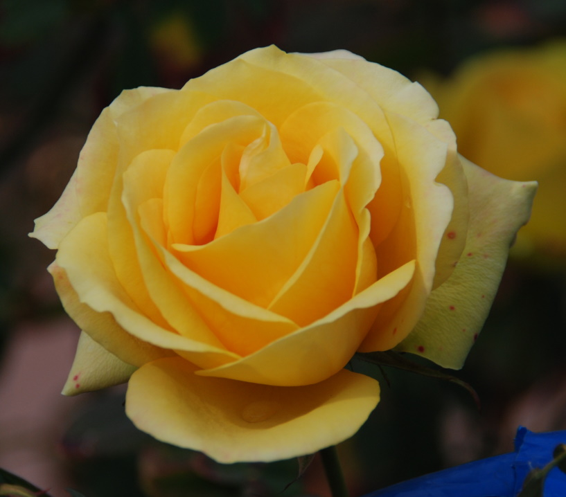 6 zoo 6 yellow rose