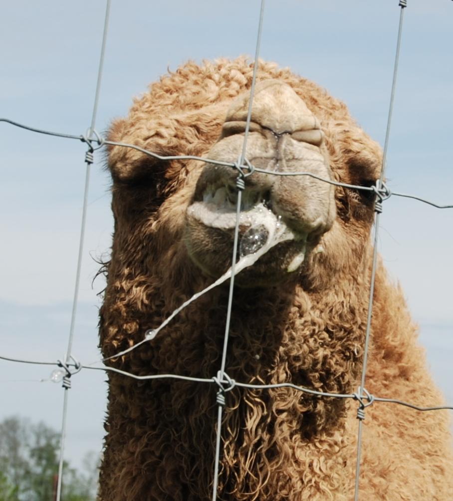 2 camel drool