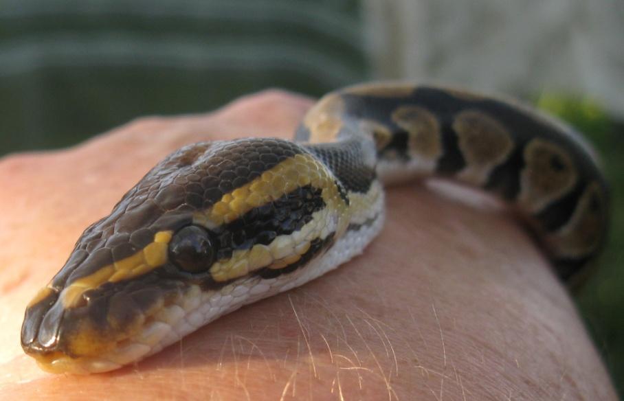 8 snake eye