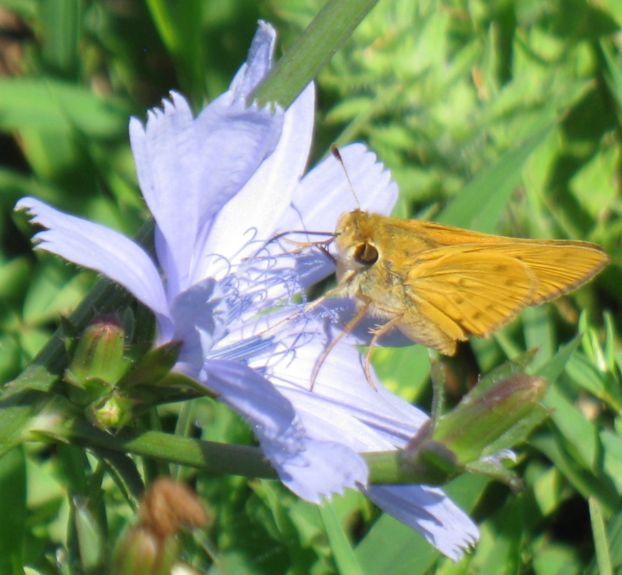1 o chicory flower moth
