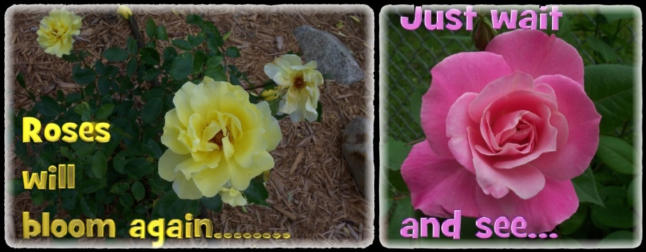 7-roses-1