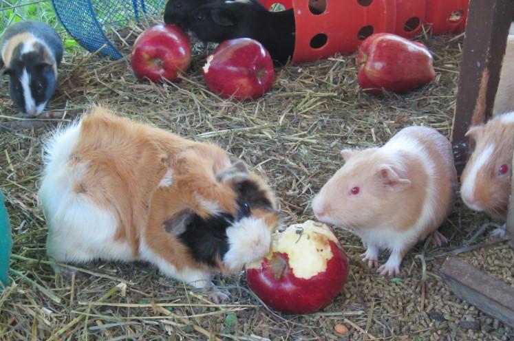 6 guinea pigs 2