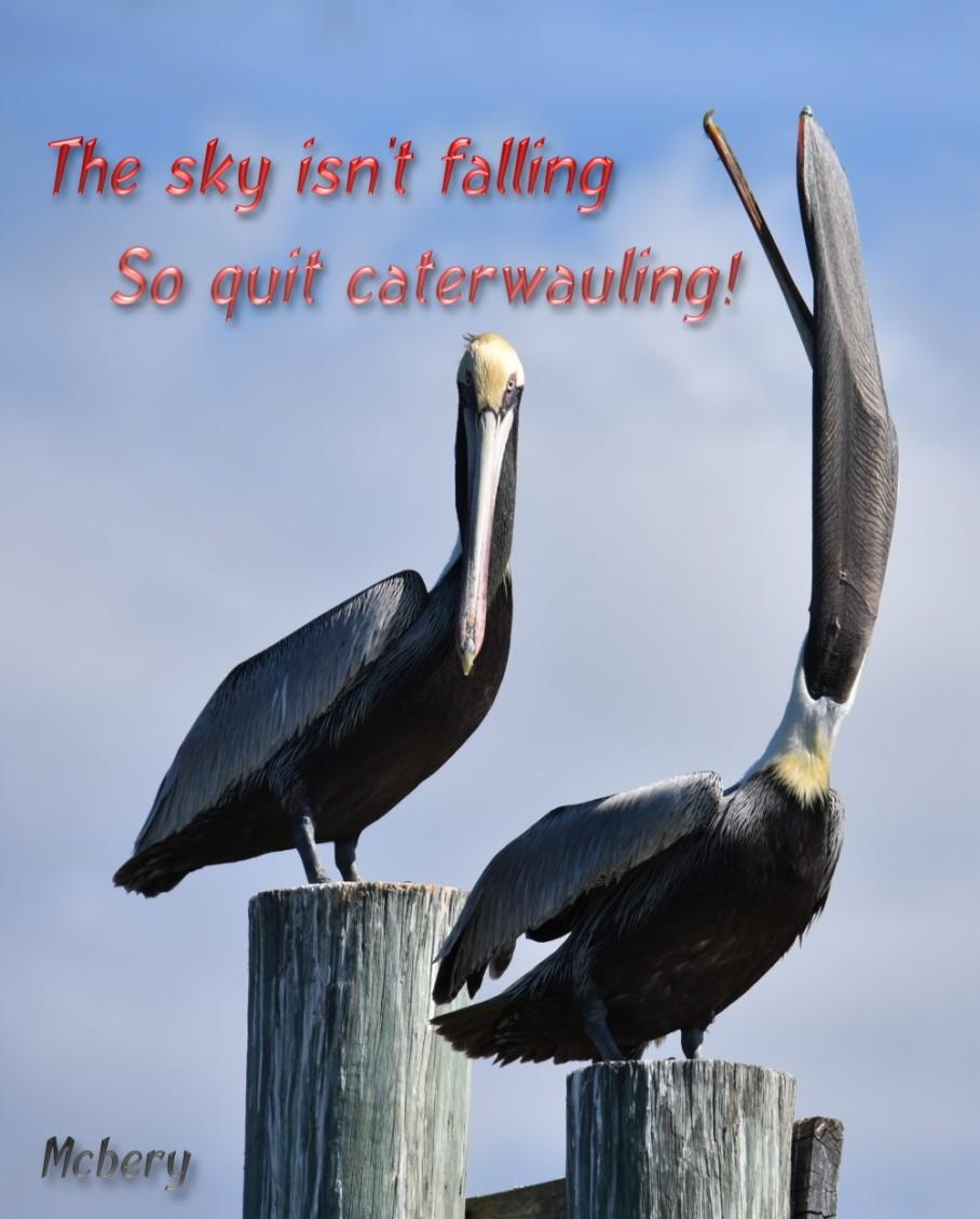 6 h funny pelicans 3 e