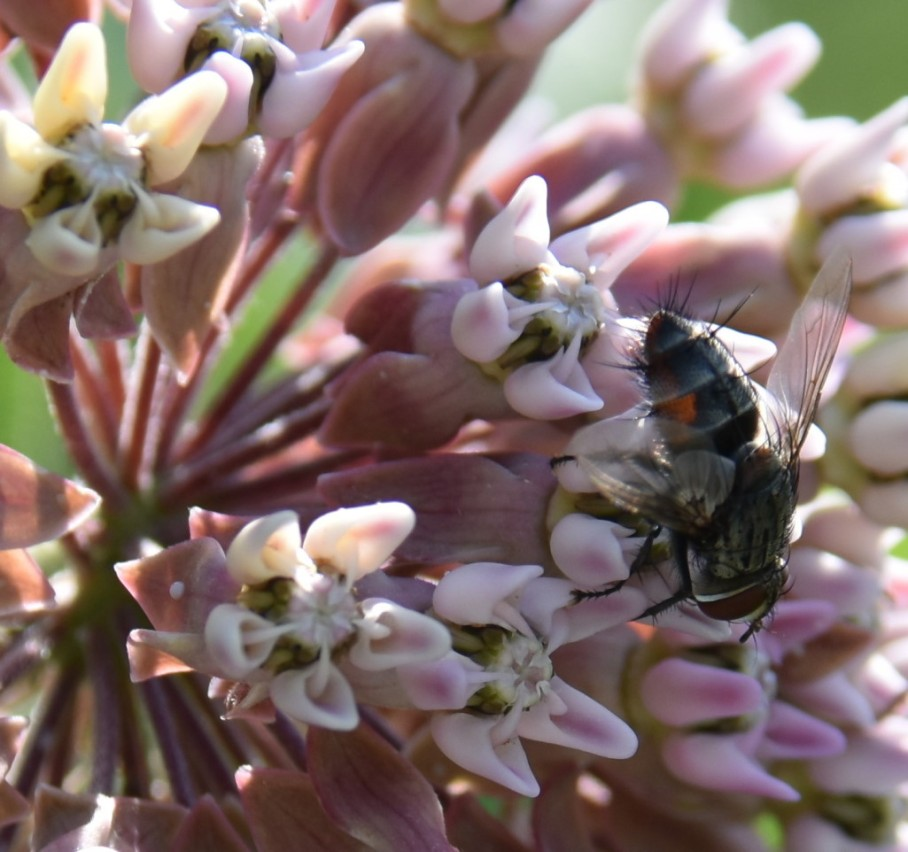 1 ohio mounds milkweed hairy fly