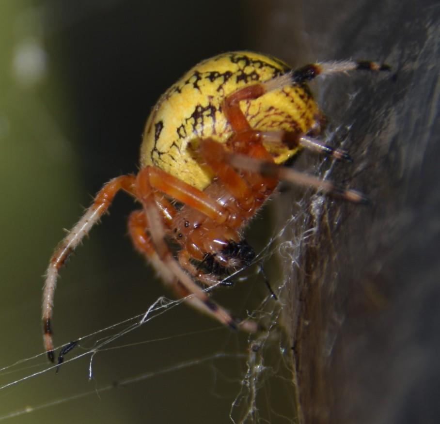 5 spider 2