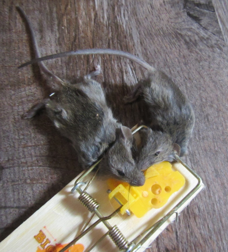 7 tale of two mice