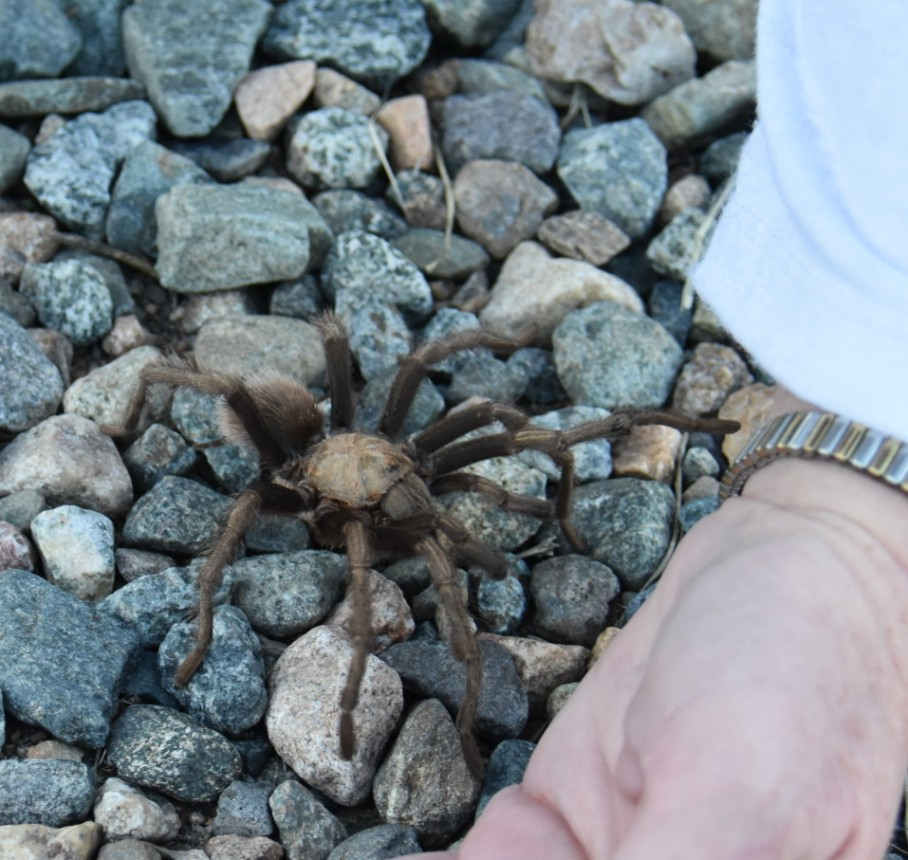2 h tarantula on road 4