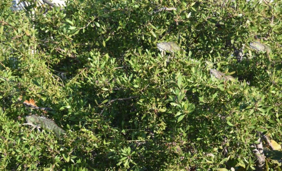 2 fla iguana tree 1 fort taylor