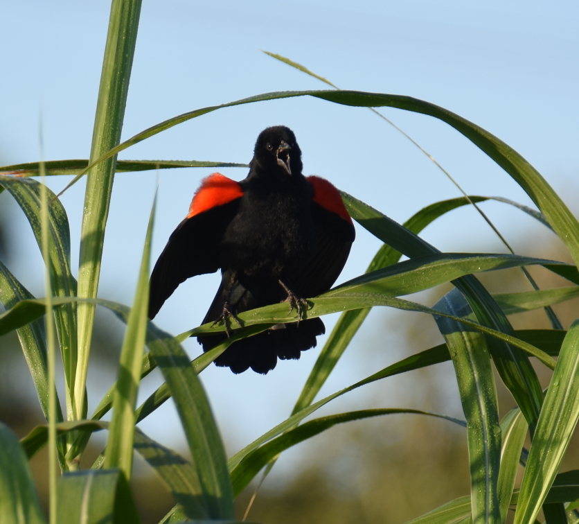 9 i redwinged blackbird 2